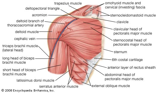 old school plate presses for inner chest development skinny yoked : chest muscle diagram - findchart.co